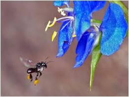 Makanan yang Paling disukai Lebah Tanpa Sengat (Trigona/ Klanceng)